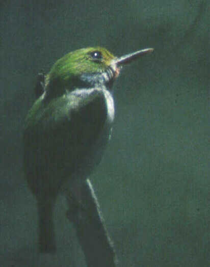Cuban Tody, photo © Blake Maybank